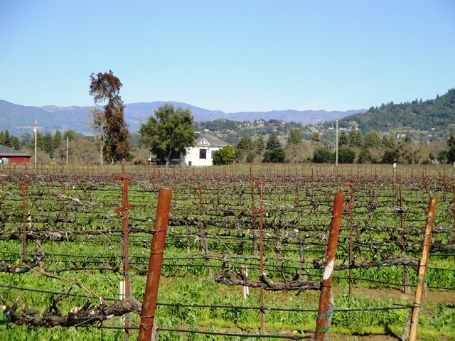 Looking Across the Vineyard